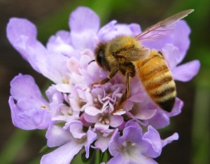 Bee-Purple-Flower-Macro